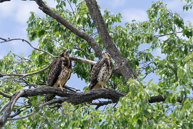 Pair of Sibling Juvenile Swainsons Hawks