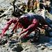 Red Swamp Crayfish (Procambarus clarkii)