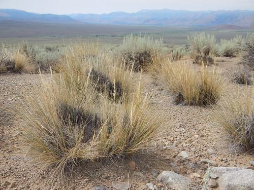 native poaceae perennial bunchgrass coolseason sagebrushsteppe stipeae achnatherumspeciosum stipaspeciosa