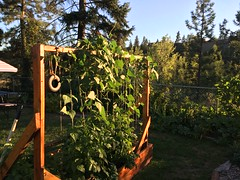 Okanagan Heat wave. hot summer. weeks of 38*c Managing gardens a challenge.