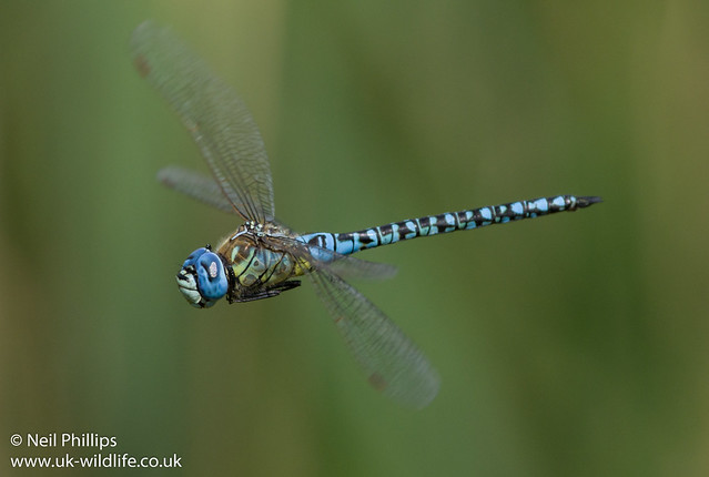Southern migrant hawker-7