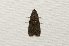 Pyralidae sp. - Everett WA