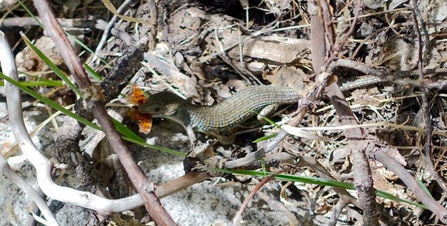 Alligator lizard munching a butterfly, m826