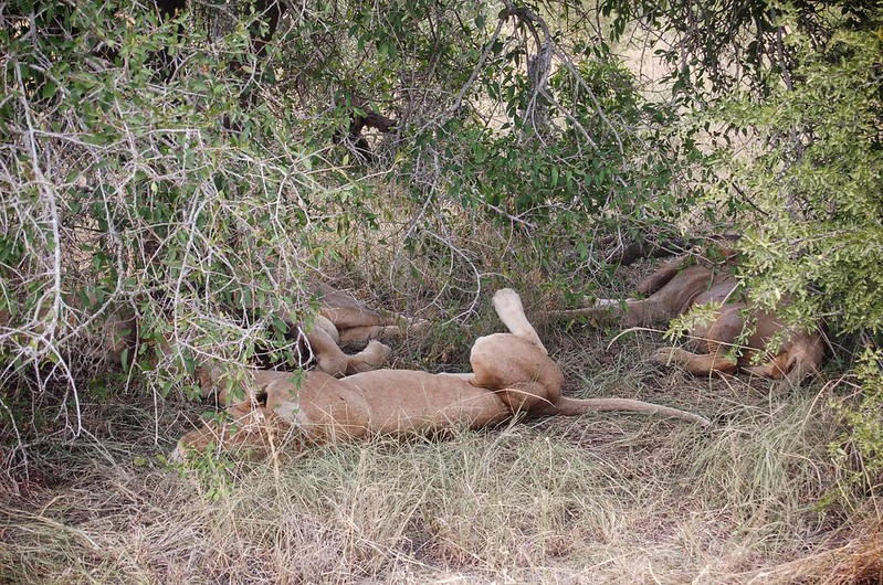 Sleepy lion group at MalaMala