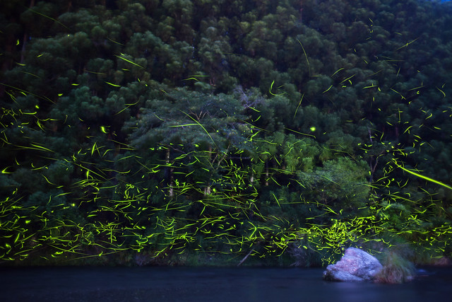 Photo:Fireflies 2015 #2 By kobaken++