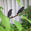 Two fledgling Crows, still hanging around the back yard without flying