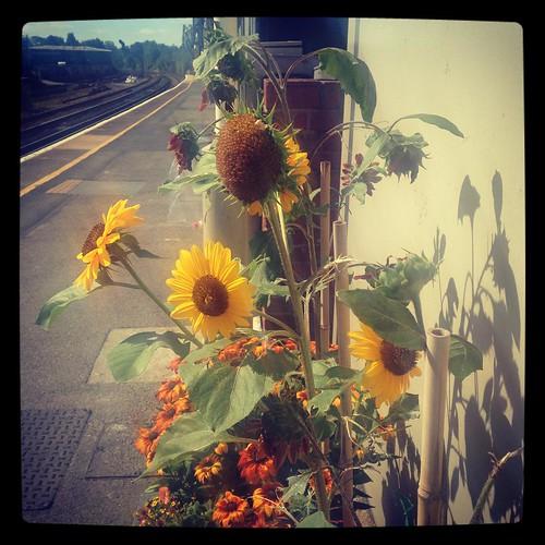 Dancing in the breeze #sunflowers  #air #augustbreak2015 #stationflowers #urbangardening #loveyourhood #SE23love
