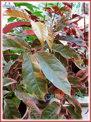 Excoecaria cochinchinensis 'Firestorm' (Chinese Croton Firestorm, Variegated Blindness Tree, Jungle Fire Plant) cascading spectacularly in a hanging pot, July 17 2015