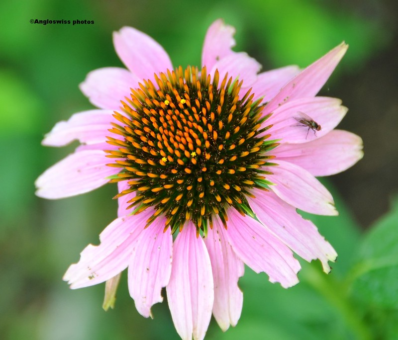 Echinacea - purple coneflowers