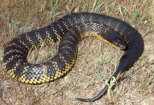 ular tiger