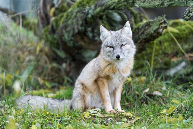 Corsac fox sitting