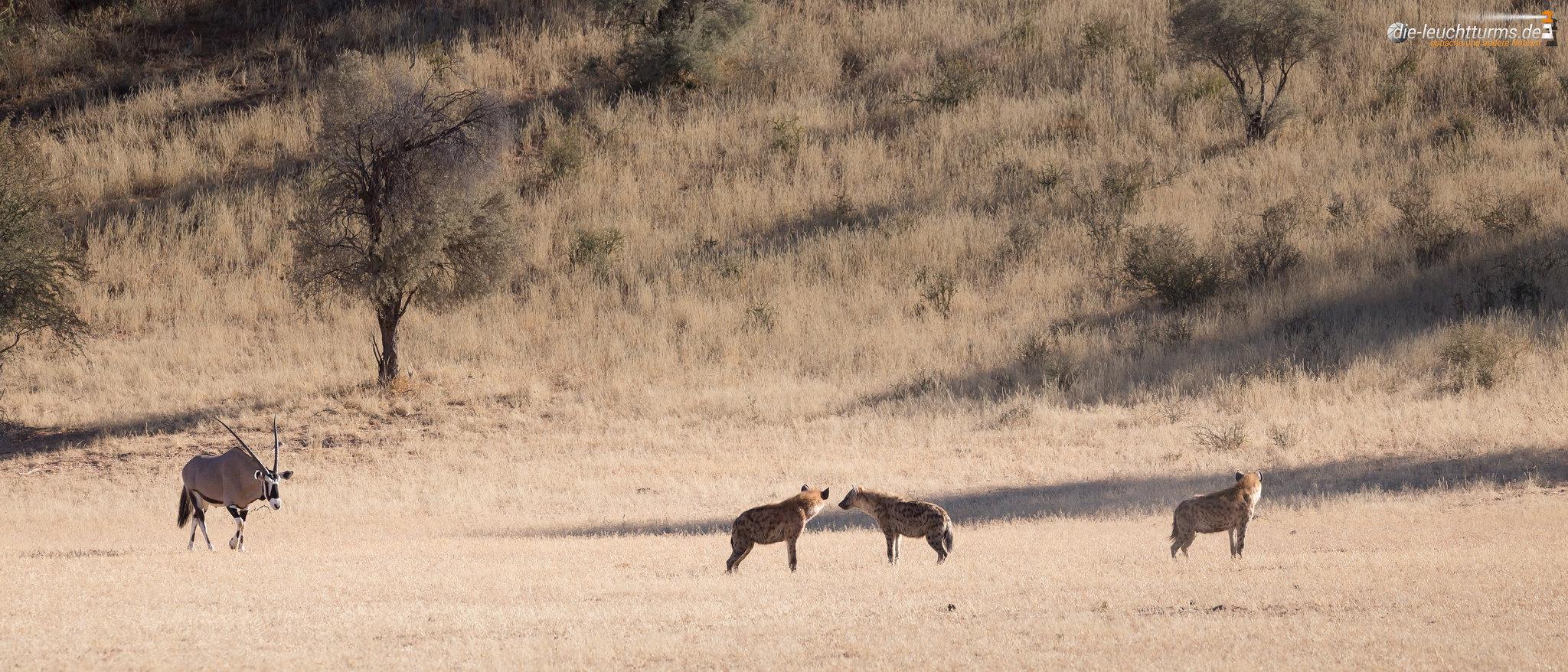 Spotted hyenas and Gemsbok