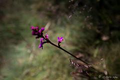 Grass Trigger Plant (Stylidium graminifolium) 9044