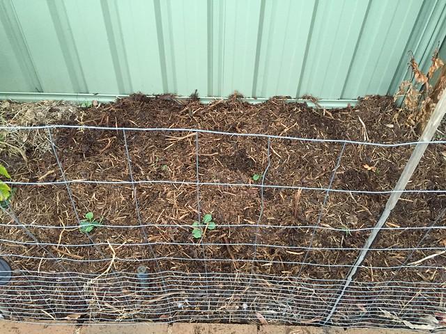 broccoli planting in South Wall #1 by Samvara