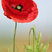 Shawbury Poppies by Glen Pardoe Photography