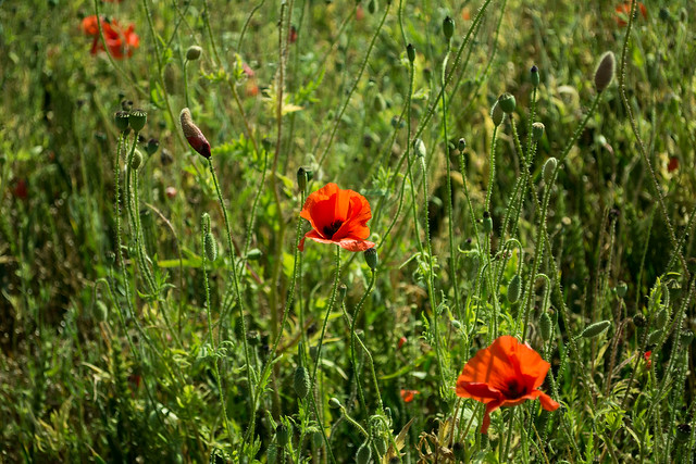 20150704-12_Wheat Field with Poppies