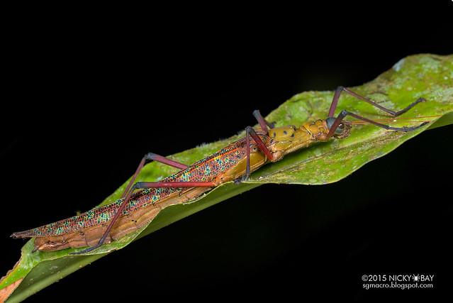 Knob necked stick insect (Calvisia sp.?) - DSC_4514