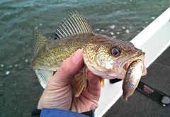 animal, fish, cod, fishing, fish, recreational fishing, jigging,