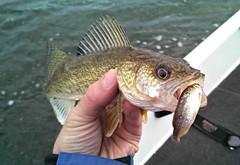 northern pike(0.0), bass(0.0), trout(0.0), perch(0.0), common rudd(0.0), tilefish(0.0), barramundi(0.0), snapper(0.0), animal(1.0), fish(1.0), cod(1.0), fishing(1.0), fish(1.0), recreational fishing(1.0), jigging(1.0),