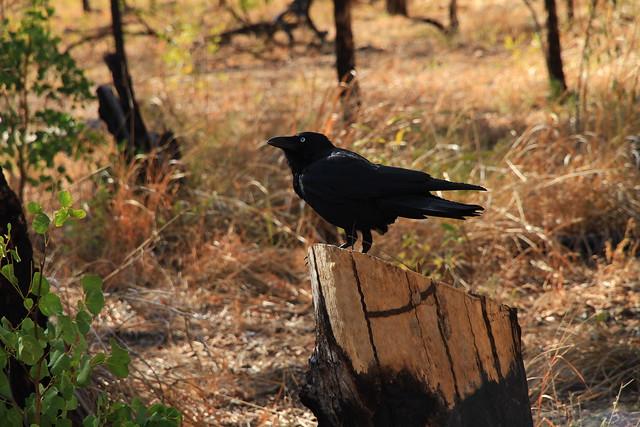 澳洲鴉Australian Crow-澳洲昆士蘭Undara Experience-Bush Breakfast-20141117-賴鵬智攝-7