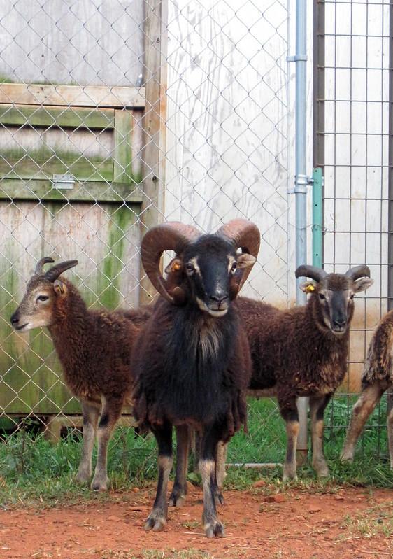 Ferrington and two Lambs facing the camera