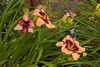 Another view of our daylilies