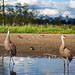 Sandhill Cranes at Burnaby Lake by Mark Klotz