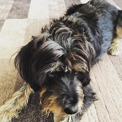 dog breed, animal, dog, petit basset griffon vendã©en, pet, lã¶wchen, mammal, standard schnauzer, vulnerable native breeds, schnauzer, cesky terrier, morkie, catalan sheepdog, cairn terrier, miniature schnauzer, terrier,