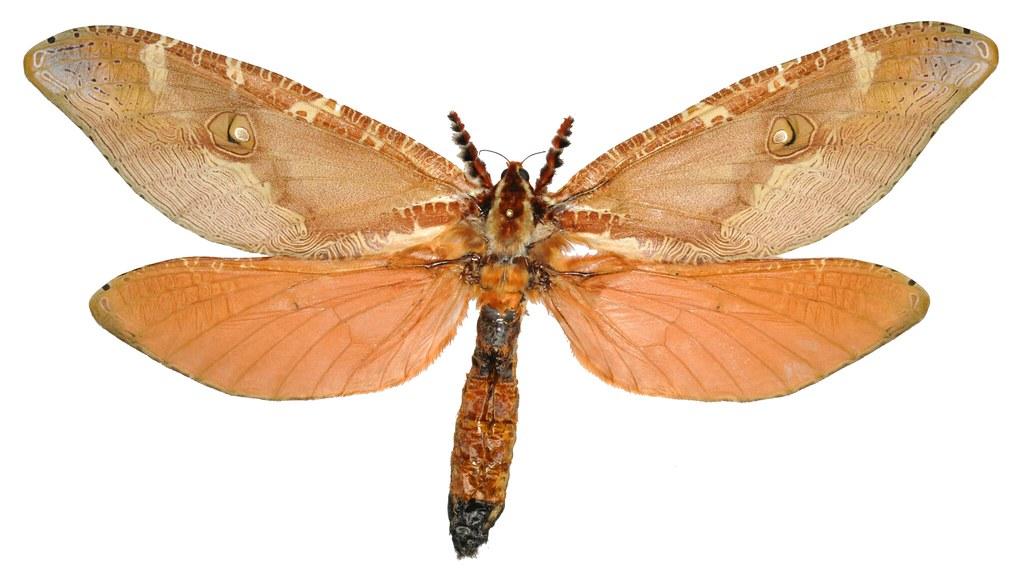 Zelotypia stacyi, 2015 specimen