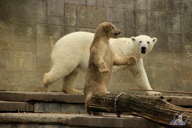 Eisbär Fiete im Zoo Rostock 12.07.2015 027