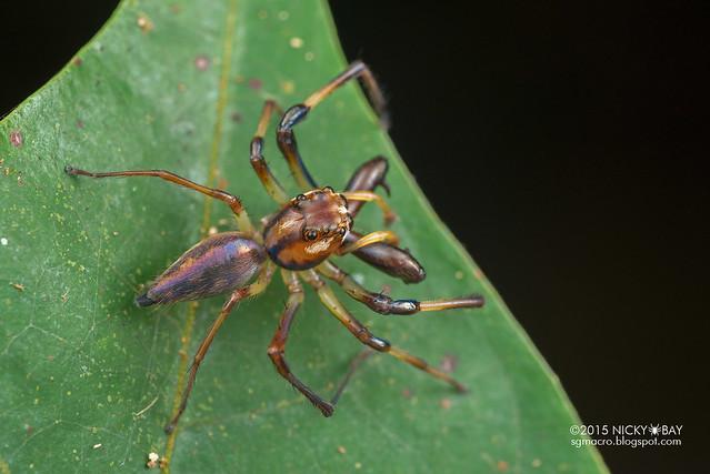 Big-jawed jumping spider (Parabathippus sp.) - DSC_4930