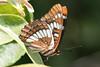 IMG_7002.jpg Ano Nuevo butterfly by ldjaffe