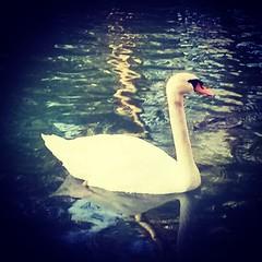 Tan elegante Cómo siempre. Que gran regalo nos brinda la naturaleza!!#swan#park#elegance#beauty#present#natural#relax