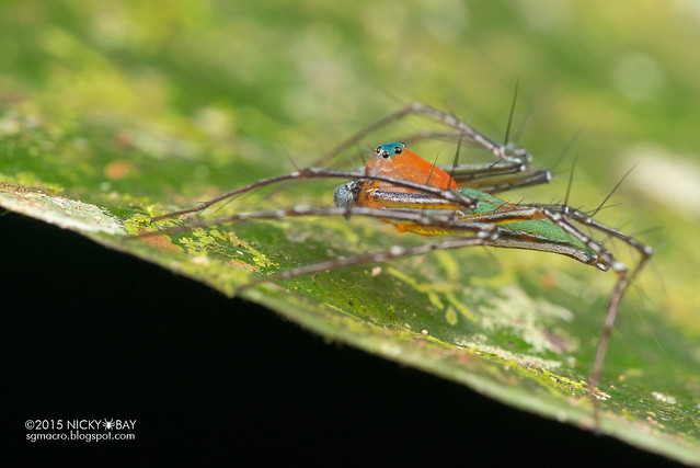 Lynx spider (Hamadruas sp.) - DSC_5532