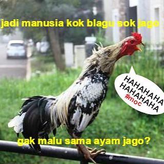 Ayam Jago Bangkok Malu Lawak Kocak Humor Meme