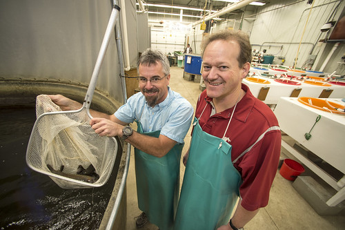 Researchers Dr. Kenneth Cain, University of Idaho, and Dr. Douglas Call, Washington State University with fish in a net