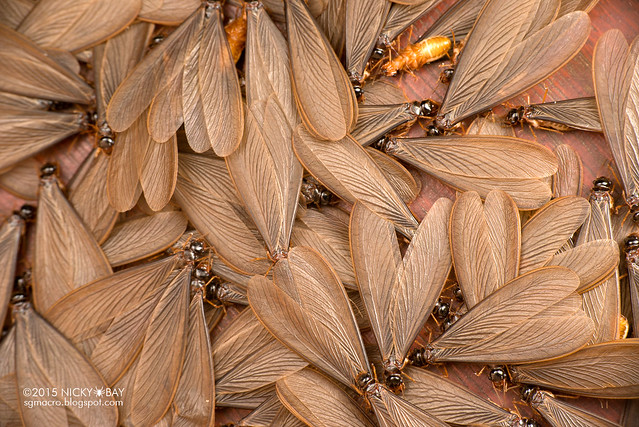 Winged termites (Isoptera) - DSC_4666