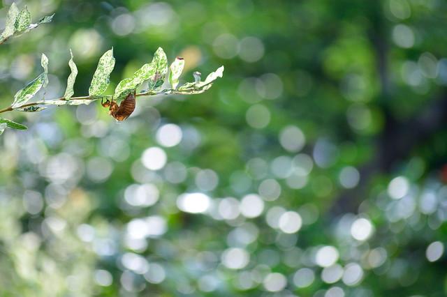 セミの抜け殻 A cicada's shell