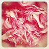 Camellia centre #camellia #colourinwinter #garden