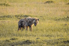animal, prairie, tundra, mammal, hyena, fauna, savanna, grassland, safari, wildlife,