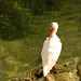 Ibis, Preening at Water's Edge