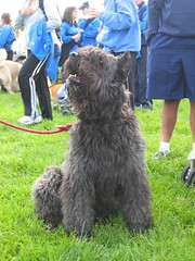 standard schnauzer(0.0), schnauzer(0.0), dog breed(1.0), animal(1.0), dog(1.0), schnoodle(1.0), pumi(1.0), pet(1.0), tibetan terrier(1.0), glen of imaal terrier(1.0), giant schnauzer(1.0), black russian terrier(1.0), bouvier des flandres(1.0), catalan sheepdog(1.0), cã£o da serra de aires(1.0), conformation show(1.0), miniature schnauzer(1.0), carnivoran(1.0), terrier(1.0),