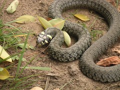 animal, serpent, snake, reptile, hognose snake, grass snake, fauna, viper, garter snake, scaled reptile, wildlife,