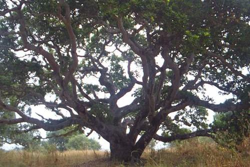 Santa Cruz News >> California Live Oak | Flickr - Photo Sharing!