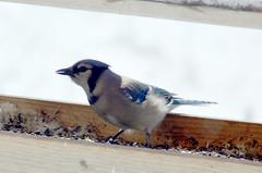 emberizidae(0.0), house sparrow(0.0), crow-like bird(0.0), animal(1.0), sparrow(1.0), fauna(1.0), finch(1.0), blue(1.0), blue jay(1.0), beak(1.0), bird(1.0),