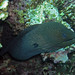 Giant Moray (Red Sea)