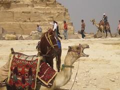 mule(0.0), pack animal(1.0), desert(1.0), landscape(1.0), camel(1.0), arabian camel(1.0),