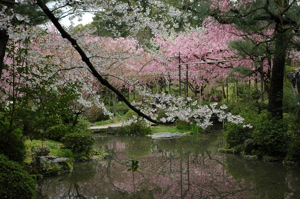 Sakura in Heian Shrine