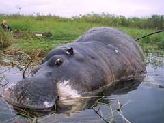 a very dead hippo