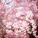 weeping cherry by moaan